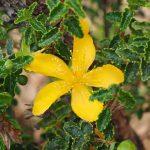Šentjanževka je zdravilna rastlina v kateri se kaže moč narave